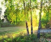 Fotografie břízy v lese letní