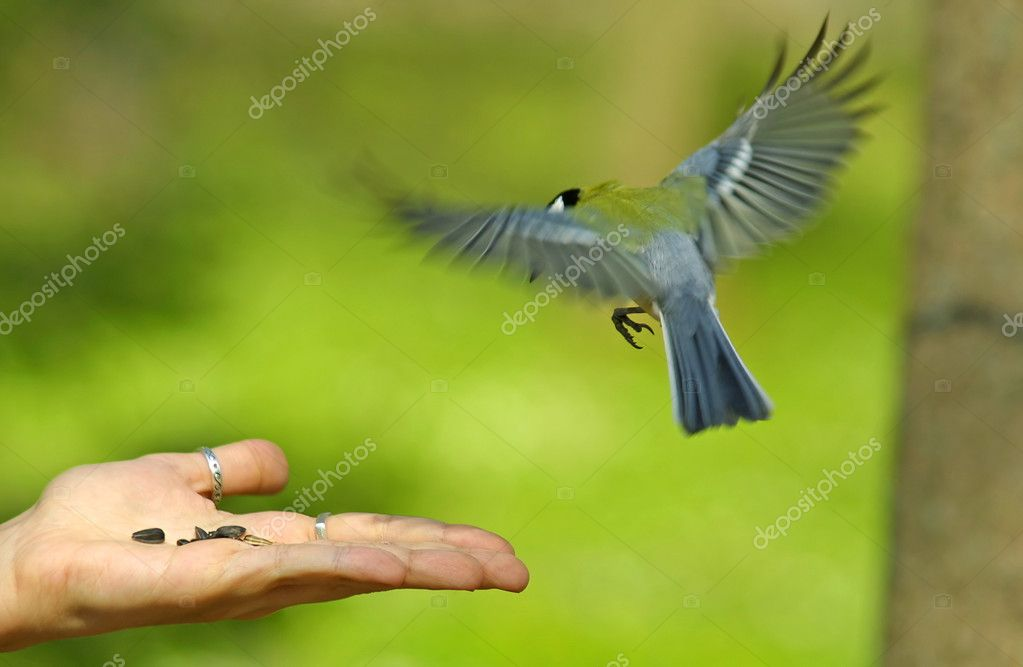 Bird flying to the hand with a seeds