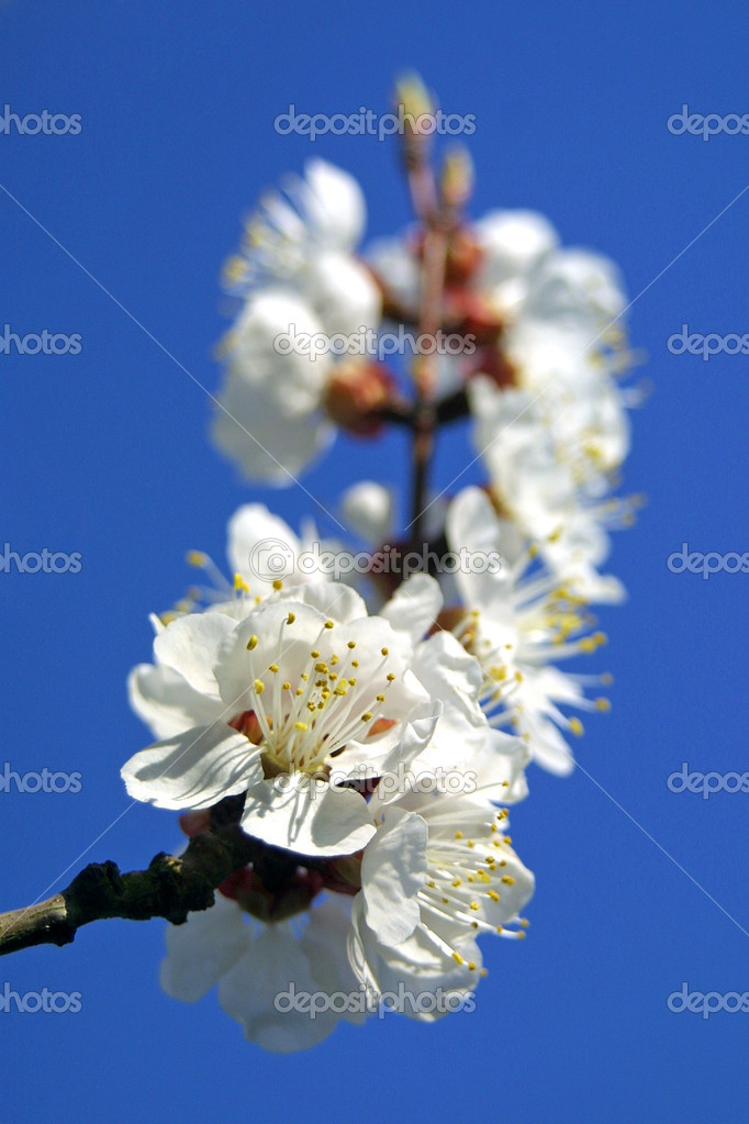 Close-up branch of cherry bloom