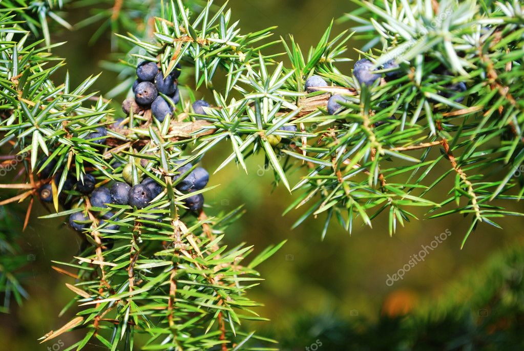 Juniper in the forest