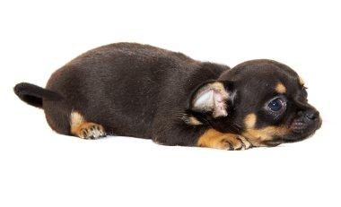Chihuahua dog on white background