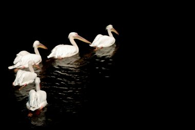 A group of pelicans with reflection on t