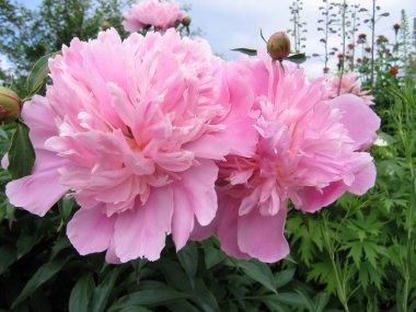 Close up of gentle pink peony in garden stock vector