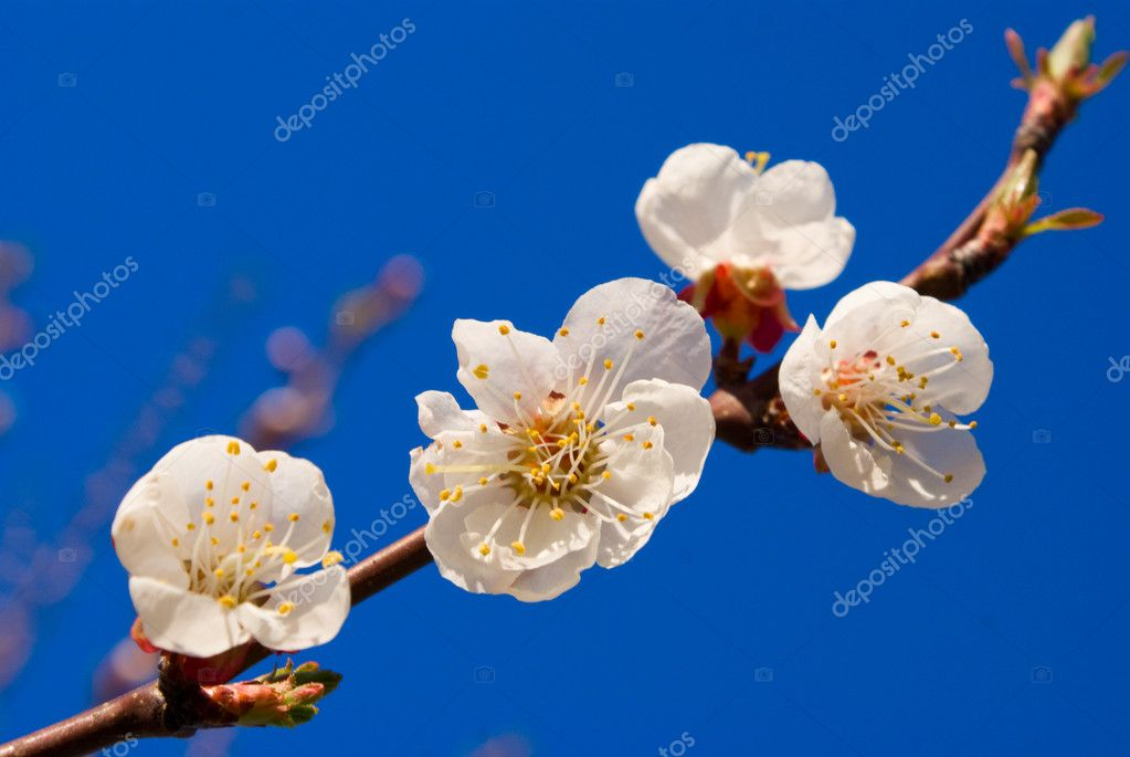 Flowers of apricot