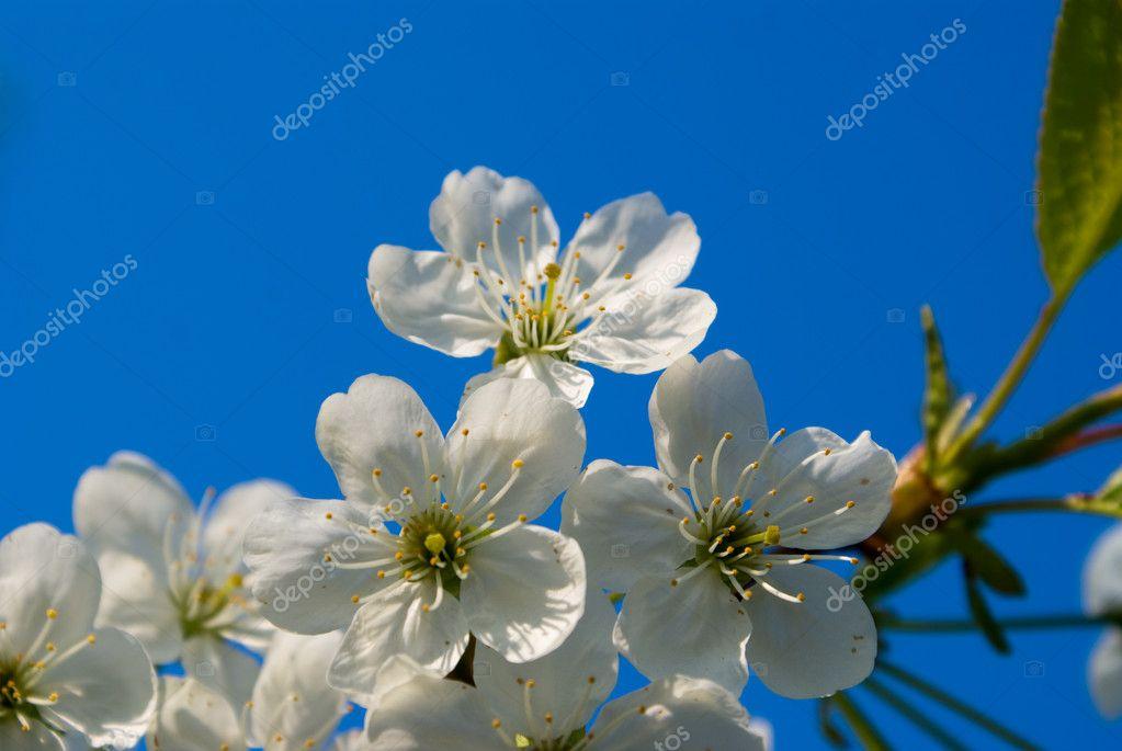 Flowerings branches of tree