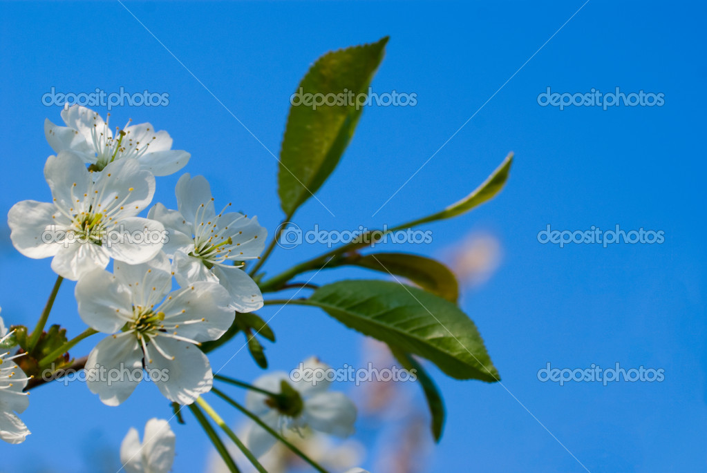 Cherry sprig with flowers