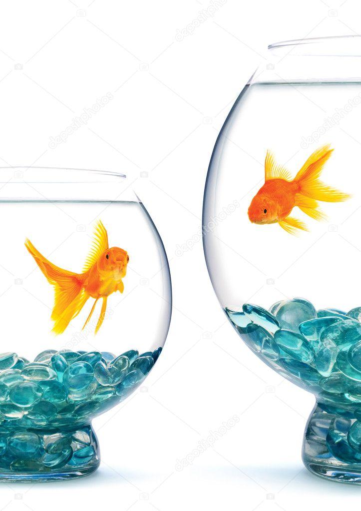 Goldfishes in aquarium