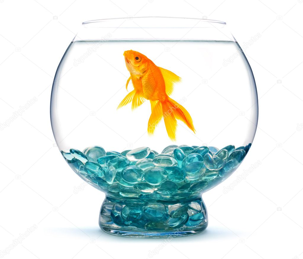 Gold fish in aquarium