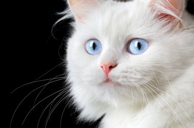 Portrait of a white cat