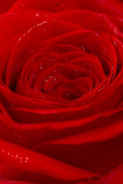 Abstract background. A rose with droplet
