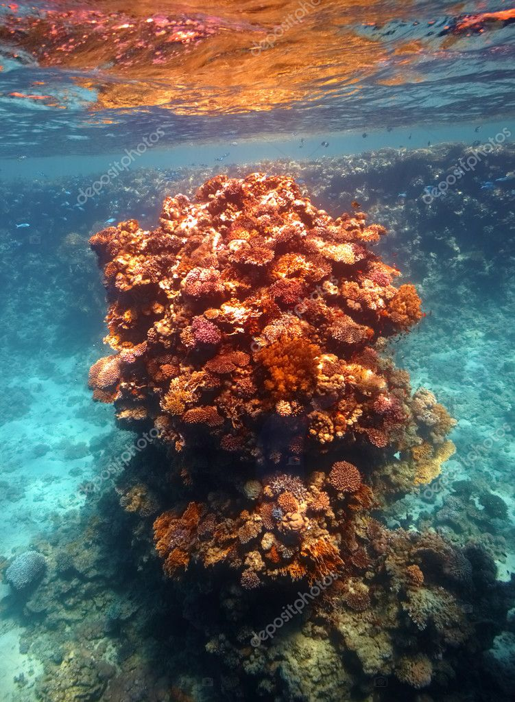 Coral reef in Red sea