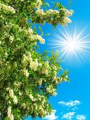 Fényképek fehér akác- és szórakoztató nap a kék ég