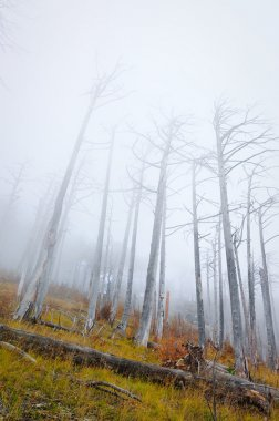 The dead forest is fog