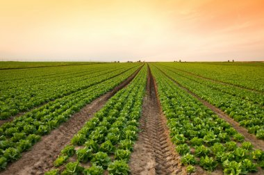 Lettuce crop