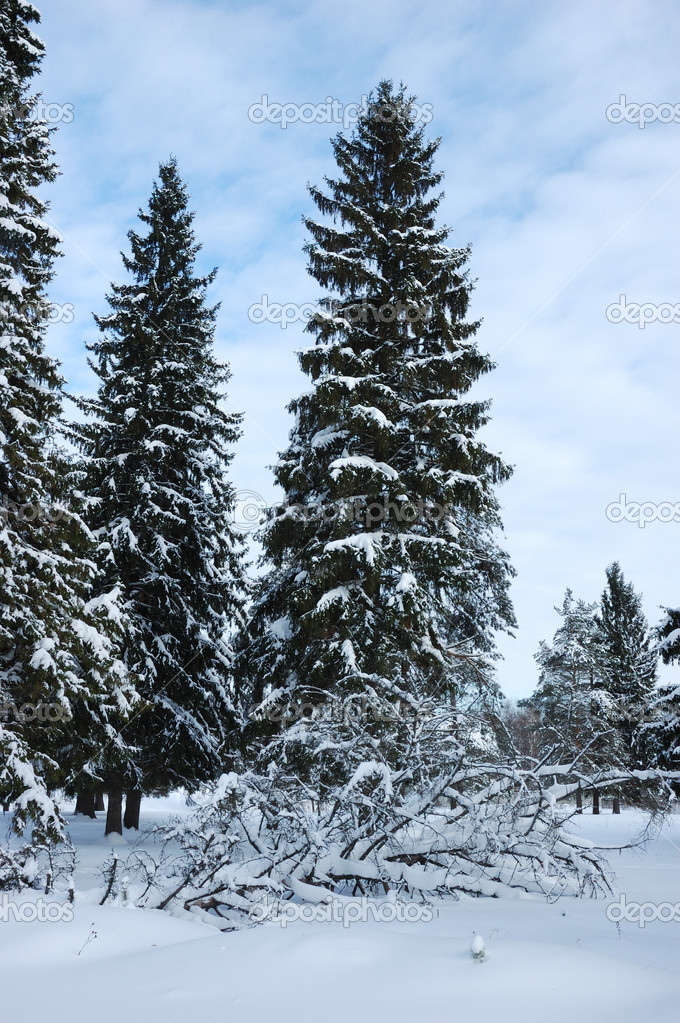 snowy fir trees forest - photo #6