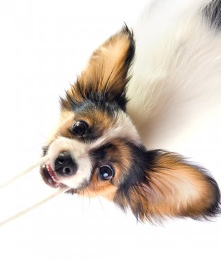 The puppy papillon playing with a rope.