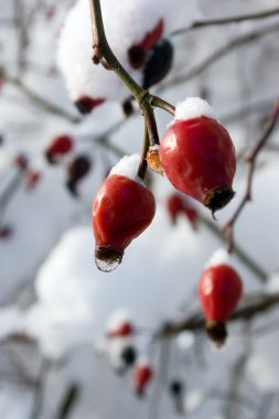 Red berries of a dogrose in snow