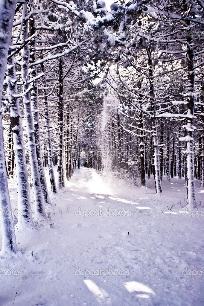 The snow road of snow to pine wood