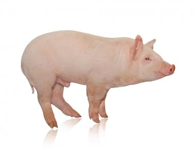 Pig who is represented on a white backgr