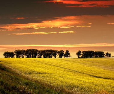 Rape Seed Field on a sunset