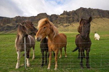 Group of icelandic horses