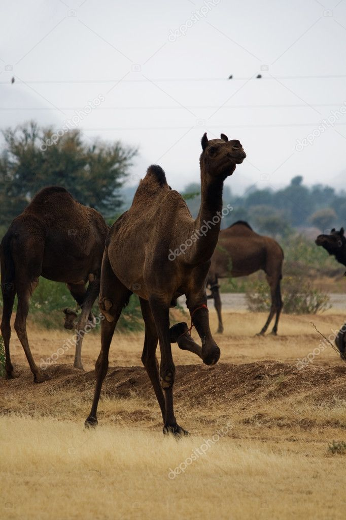 Camels in India With Tied legs