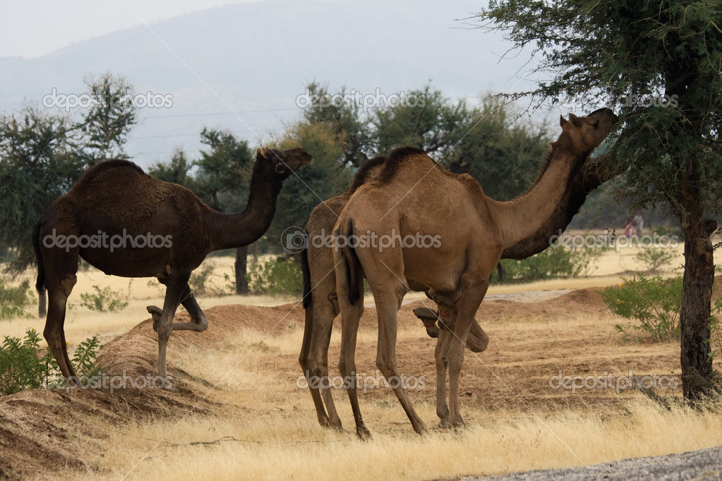 Camels eating tree leaves