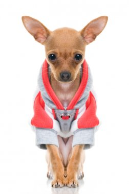 Funny little dog in jacket