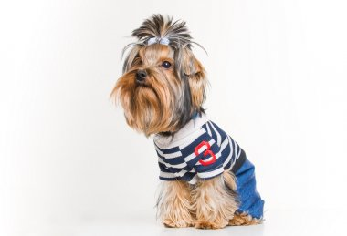Funny Yorkshire terrier in pullover