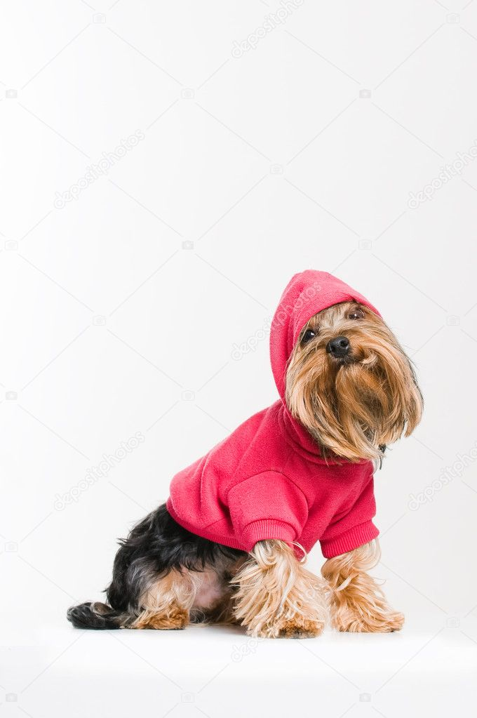 Cute Yorkshire terrier in pink pullover, studio shot over white background