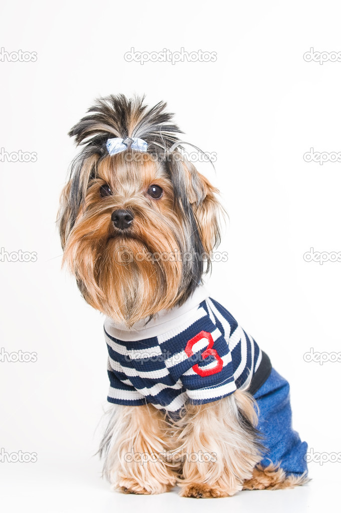 Cute Yorkshire terrier in pullover, studio shot over white background
