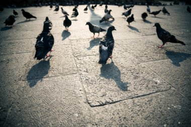 Pigeons in a city
