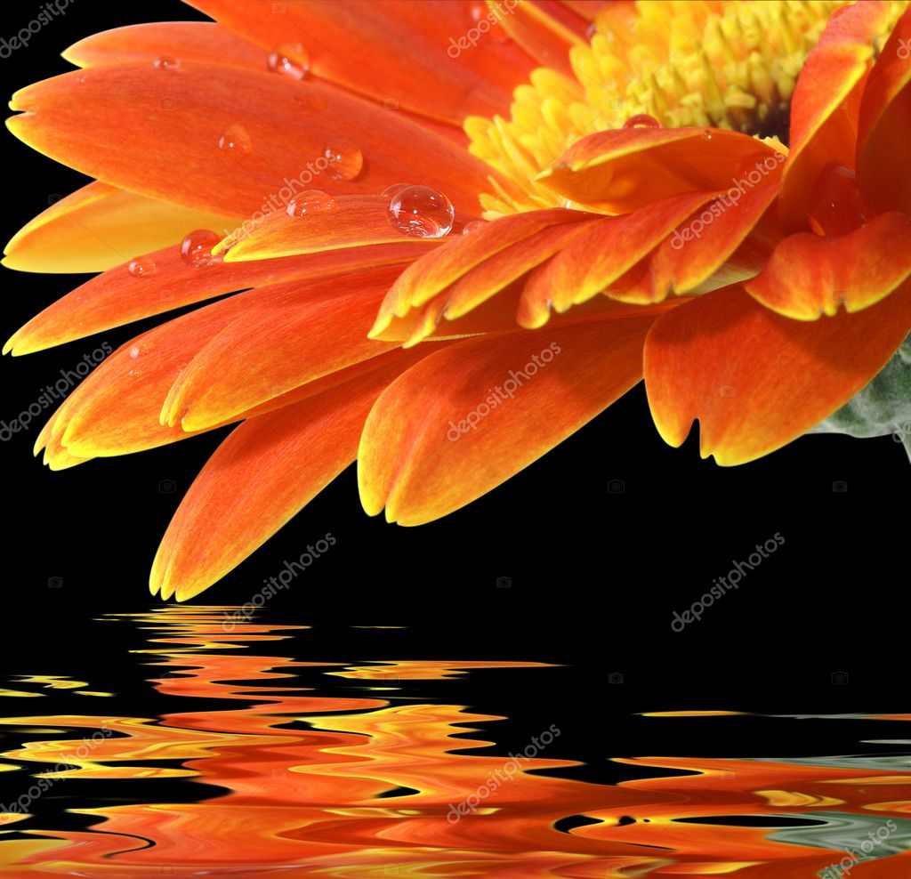 Orange gerbera daisy on the black backgr