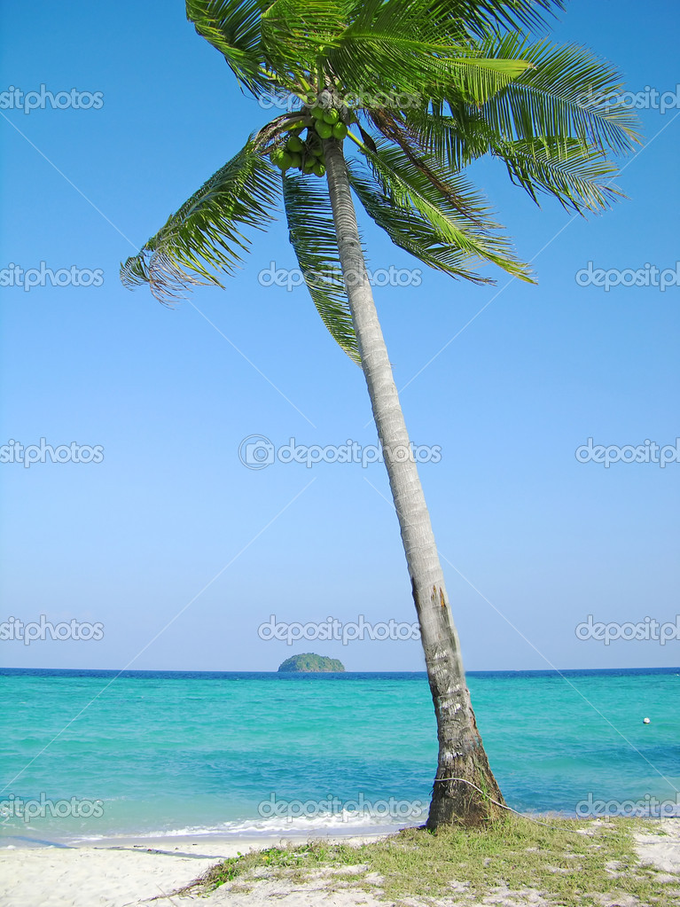 Coconut tree on the tropical beach
