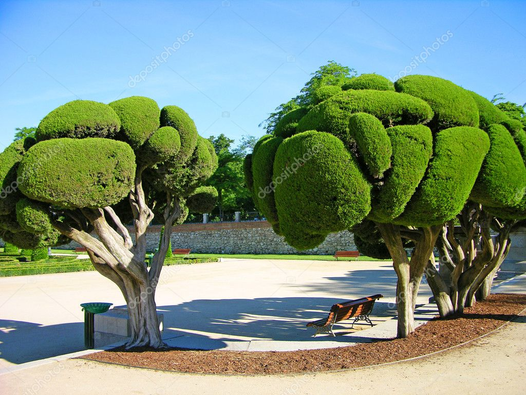 Odd-shaped trees in Madrid park