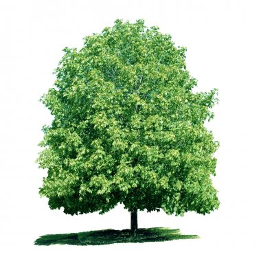 Isolated green chestnut tree