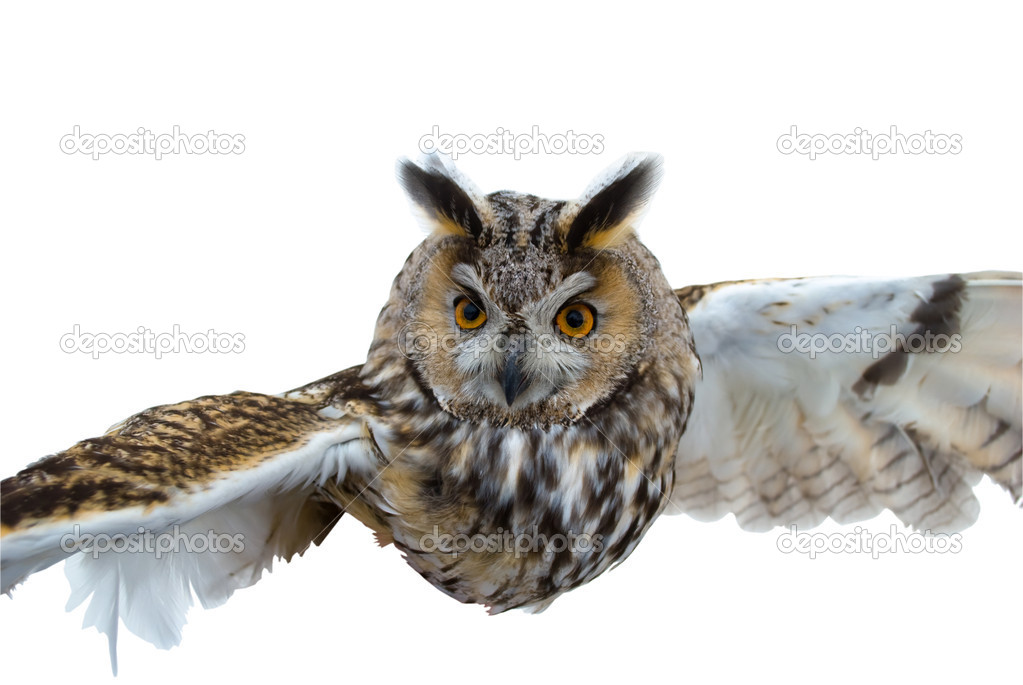 The Owl in flight.