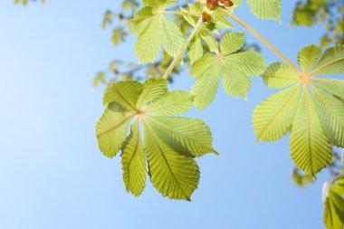 Spring Chestnut tree leaves