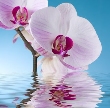 Orchid on Blue