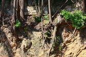 kořeny stromů, které jsou vystaveny erozí půdy