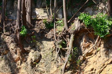 Tree Roots Exposed Due to Soil Erosion