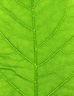 Vibrant green leaf macro.