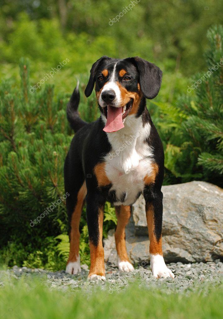 Appenzeller Sennenhond — Stockfoto © gsdonlin 1170273