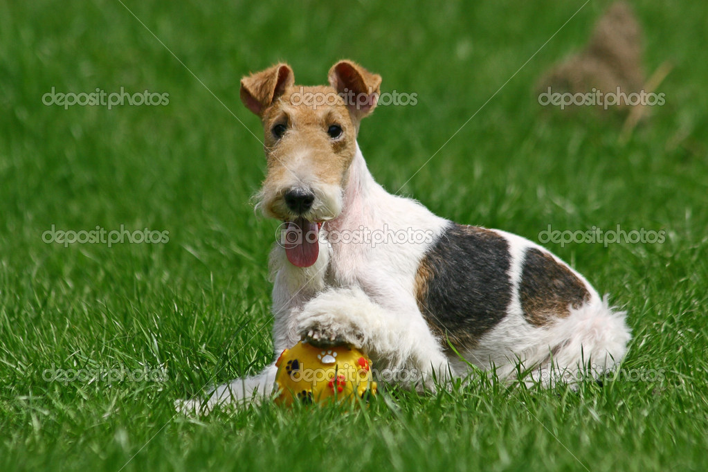 Wired Fox Terrier and a ball