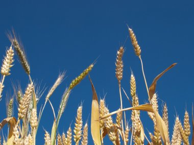 Yellow wheat against clear sky backgroun