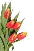 Fotografie Tulipán květy izolované
