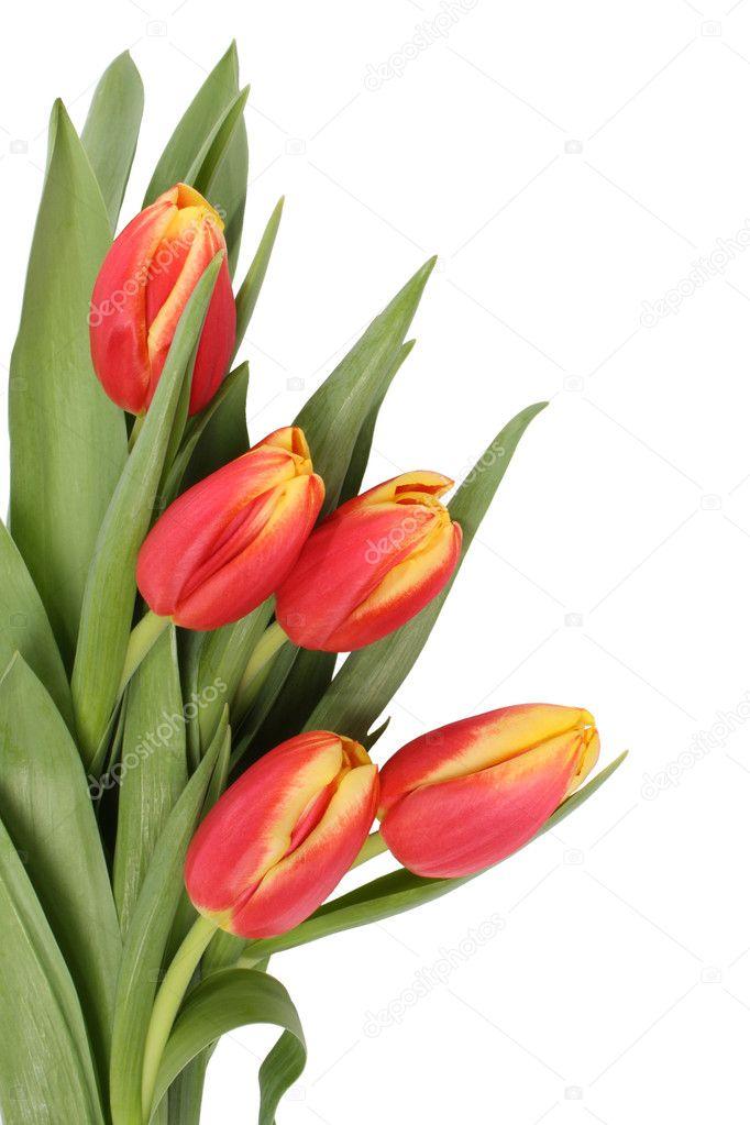 Tulip flowers isolated