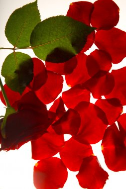 Red rose with leafs and petals