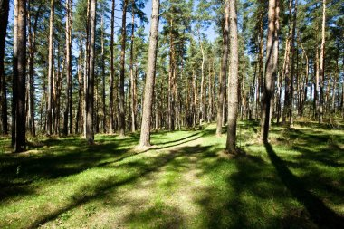 Narrow woodland road amongst the green trees stock vector
