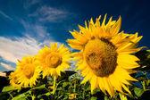 Zlaté slunečnice na pozadí b